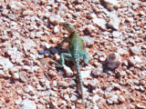 "Collard Lizard ""Oklahoma State Lizard"" by angelledaemon, Photography->Animals gallery"