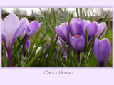 Crocus vernus... by fogz, Photography->Flowers gallery