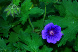 It's VERY Blue! by braces, Photography->Flowers gallery