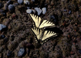Butterflies on Beach by LakeMichiganSunset, Photography->Butterflies gallery