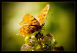 flutterby butterfly by JQ, Photography->Butterflies gallery