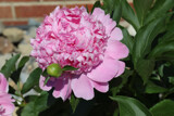 A Peony for Friday by jerseygurl, photography->flowers gallery
