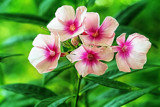 Tall Phlox Glowing.... by nanadoo, photography->flowers gallery