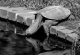 Thirsty Snapper by tigger3, contests->b/w challenge gallery