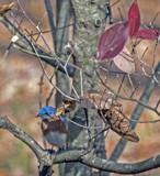 WinterBlueBird by gharwood, photography->birds gallery