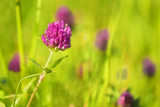 Red clover by Genver, photography->flowers gallery