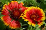 firewheel by jeenie11, Photography->Flowers gallery