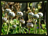 Smiling Poppyheads! by verenabloo, Photography->Manipulation gallery