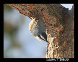 Red-breasted Nuthatch by ksshutterbug, Photography->Birds gallery