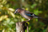 Eurasian jay by biffobear, photography->birds gallery