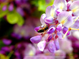 Bee on Wisteria by Samatar, Photography->Insects/Spiders gallery