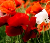 Poppies by WTFlack, photography->flowers gallery