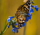 Painted Lady on Blue by Pistos, photography->butterflies gallery
