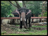 Temple Elephant by Sree, Photography->Animals gallery