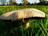 Just like Alice... by roxanapaduraru, photography->mushrooms gallery