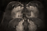 reflecting otters! by JQ, Photography->Animals gallery