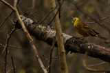 Inquisitive Yellowhammer... by biffobear, photography->birds gallery