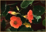 Nasturtiums by LynEve, photography->flowers gallery