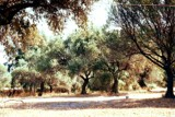 Retired Olive Trees by koca, photography->landscape gallery