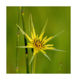Goat's - beard by gerryp, Photography->Flowers gallery