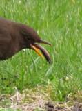 worm lunch I mean warmlunch !!! by owldgirl, photography->birds gallery