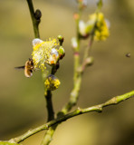 The Buzz Is Spring is Here by Pistos, photography->insects/spiders gallery