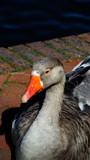 Goosey Goosey Gander by braces, photography->birds gallery