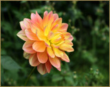 In The Dahlia Garden #25 Back Again by LynEve, photography->flowers gallery