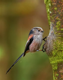 Long Tailed Tit... by biffobear, photography->birds gallery