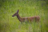 Prairie Deer by Pistos, photography->animals gallery