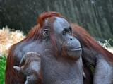 Cute Redhead by biffobear, Photography->Animals gallery