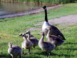 Mother Goose with Young Ones by gerryp, Photography->Birds gallery