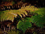 Ferns by biffobear, photography->nature gallery