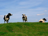 Cows on the dike by rozem061, Photography->Animals gallery