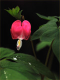 Bleeding Heart by wheedance, Photography->Flowers gallery