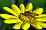 Marmalade Hoverfly 4 by biffobear, photography->insects/spiders gallery