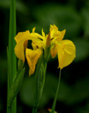 Yellow Flag Water Iris by biffobear, photography->flowers gallery