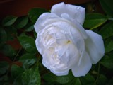 White Rose by LynEve, photography->flowers gallery
