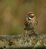 Female Reed Bunting by biffobear, photography->birds gallery