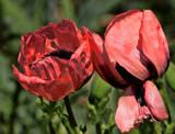 Popp'n Fresh #2 by tigger3, photography->flowers gallery
