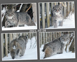 """""""My Beautiful Wild Bobcat"""" by icedancer, photography->animals gallery"""