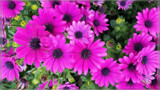 Osteospermum Barberiae (Rain Daisy) by Flmngseabass, photography->flowers gallery