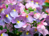 Pretty, Wet Flowers by braces, Photography->Flowers gallery