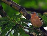 I see a little bird by biffobear, photography->birds gallery