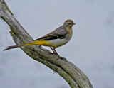 Grey Wagtail by biffobear, photography->birds gallery