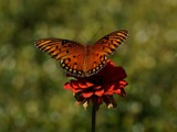 Natures Beauty by bfrank, photography->butterflies gallery