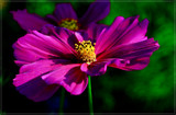 Mexican Aster (Cosmos Bipinnatus) 1 by corngrowth, photography->flowers gallery