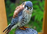 Dicky Bird by biffobear, photography->birds gallery
