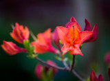 Azalea Blossoms by Pistos, photography->flowers gallery