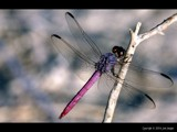 Magenta Dragonfly Magic by Delusionist, Photography->Insects/Spiders gallery